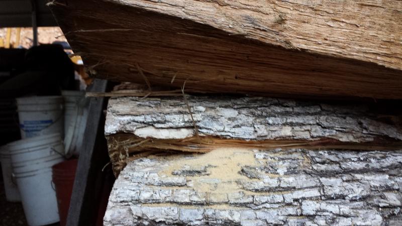 Carpenter Ants Sawdust Piles ~ Sawdust in my firewood page arboristsite